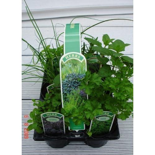 Rosemary Plant Amazon Co Uk
