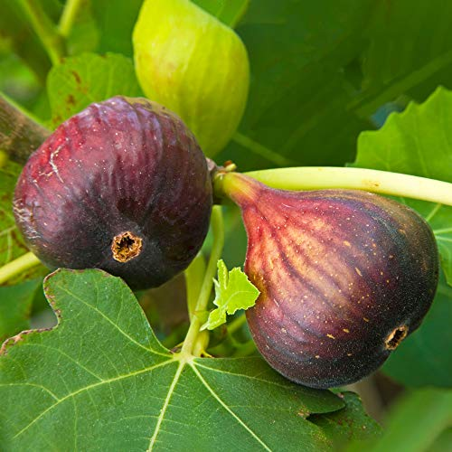 Ficus Brown Turkey | Hardy Fig Fruit Tree | Outdoor 20-30cm Potted Plant