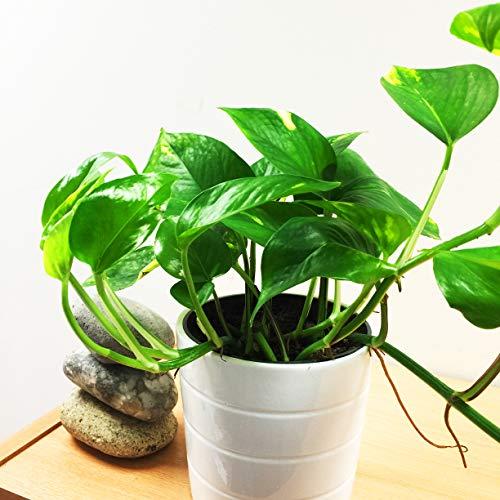 Easy Plants Teufelsfeu Golden Pothos Efeu Arum Zimmerpflanze in weißem Keramiktopf und Herbstgold-Kieselauflage, 1 Stück