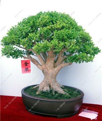 Semilla de plantas ornamentales Japón Ash Árbol de hoja caduca Árbol perenne Fraxinus chinensis Semilla Inicio Jardín Bonsai Bai Shu La...
