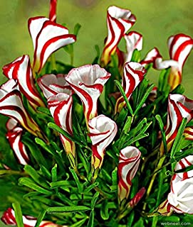 Best candy cane flowers Reviews