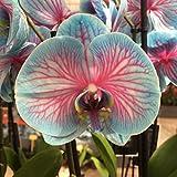Orquídea Planta - Orquidea Azul - Phalaenopsis - Maceta 12cm. -...