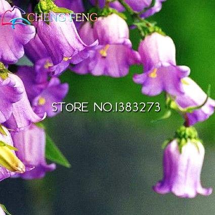 Pinkdose® 100 Stück/Beutel Campanula Bonsai Campanula Chile Rosea Blumentöpfe Glockenblume immergrün Samen für Heim Garten Hot Bonsai
