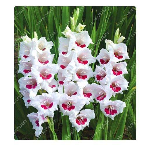 SwansGreen Echt Gladiolen Zwiebeln, Blumenzwiebeln seltene Schwertlilie Aerobic Topfpflanze Bonsai Dekoration Garten (nicht Gladiolen Samen) - 2 Birne 6
