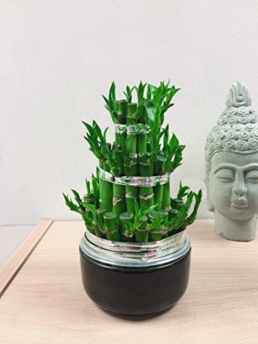 Easy Plants® 1 tour de taille moyenne en bambou dans un pot en céramique de couleur aléatoire.