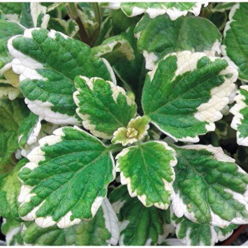 Planta del Incienso Matizada en Maceta 10cm Planta Natural
