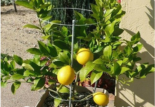 10 pièces / sac Lemon Tree Seeds Haute survie Graines Taux bonsaï de fruits pour la maison Gatden balcon Bonsai
