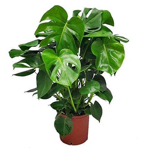 Monstera Delicioso - Swiss Cheese Plant - 3 Gallon Pot - Overall Height 22' to 24' - Tropical Plants...