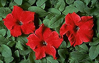 Petunia Dreams Red Annual Flowers Seeds 2.000 Pcs an