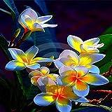 TOMASA Jardin-Raras semillas birmanas plantas birmanas semillas de flores Semillas resistentes Perennes jardín ornamental balcón