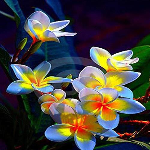 TOMASA Seedhouse- Piante semi birmane rare Semi di fiori birmani Seed hardy Giardino ornamentale perenne balcone