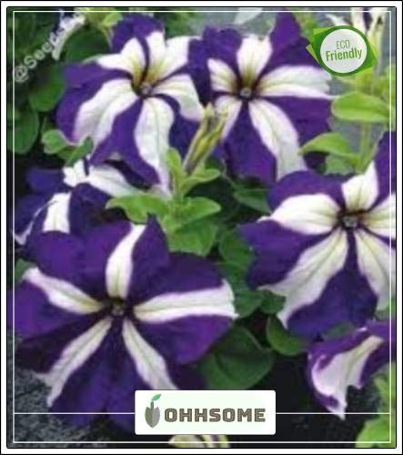 FERRY Hohe Wachstum Seeds Nicht NUR Pflanzen: Seed Teppich Stern Misch Spitze Hybrid Petunia Hybrida Typ Samt Garten Seed (20 pro Paket)