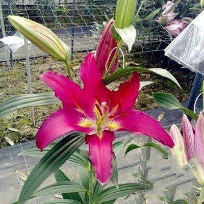 lily plantes de semences de fleurs graines 10 graines