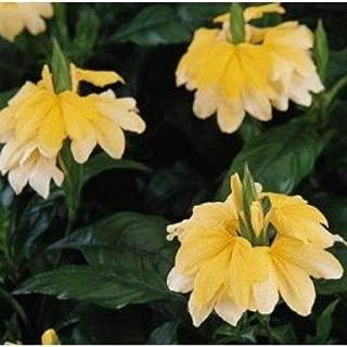 Best crossandra tropic yellow splash Reviews