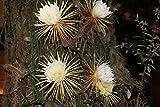 Selenicereus grandiflorus EPIFITAS CACTOS - flores grandes - Semillas!