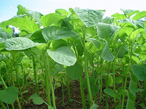 200 / sac GRAINES Callaloo jamaïcain, graines (amarante) réel jamaïcain Organic Heirloom Callaloo récoltées à partir de mon jardin