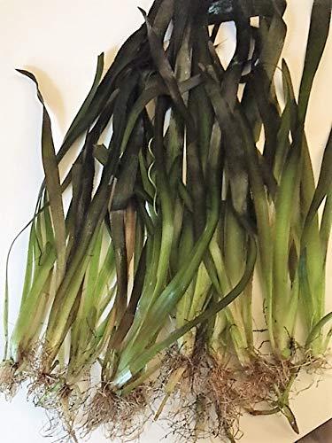 10 stk Riesenvallisnerie/Vallisneria Gigantea Aquariumpflanzen Wasserpflanzen