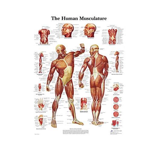 JIACUO Een Anatomische Poster met een verdeling van menselijke spieren. Pak voor Onderwijzen