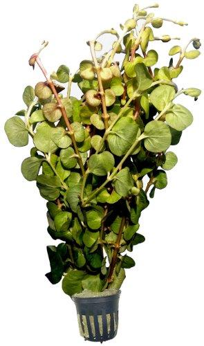 1 Topf Lysimachia nummularia cv Aurea, gelbes Pfennigkraut, Aquarium-Pflanzen