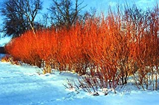 4 Flame Willow Tree Cuttings - Vibrant Orange and Red Bark - Unique Trees to Grow