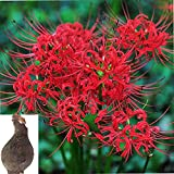 Lycoris Radiata Bulbs Nerine Bowdenni Bulbs Red Bowden Lily Bulbs Red Spider Lily Hardy Nerines Bulbs Mixed Bulbs Bulbs Easy to Plant Red Cornish Lily Bulbs .(Diameter: 10cm.one Bulbs) (red)