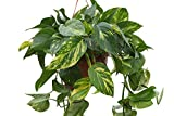 Indoor Plant -House or Office Plant -Scindapsus aureus - Devil's Ivy- In a Hanging Pot