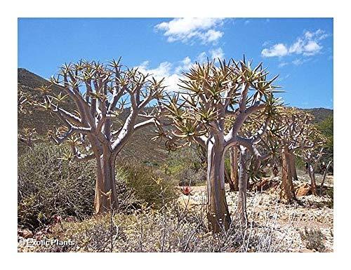 Aloe dichotoma - Kokerboom - 10 graines