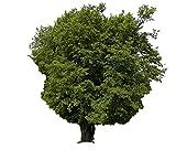 Hainbuche (Carpinus betulus) 25 Samen (Heimischer Baum - Winterhart)