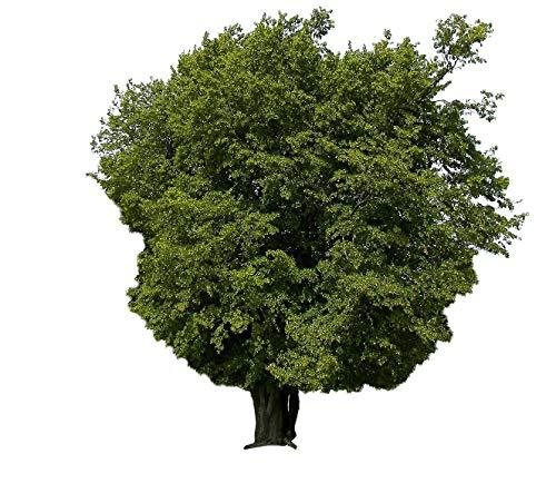 Hainbuche (Carpinus betulus) 200 Samen (Heimischer Baum - Winterhart)