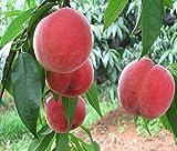 Futaba Wang peach Fruit Seeds - 6 Pcs