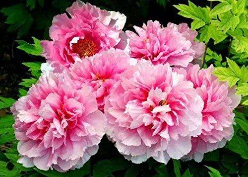 10pcs/sac de graines de pivoine, jaune, graines de fleurs de pivoine rose chinoise belles graines de bonsaï plantes en pot pour le jardin de la maison 11