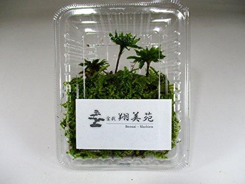 翔美苑『オオカサゴケ』