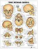 Human Skull Anatomical Chart