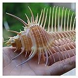 Beapet 13-15cm Murex Natural Conch Conchas Conchas Murex Ramosus Shells Fish Tank Shell Collector Aquarium Landscaping Ornamentos para el hogar Jardín Conchas de mar para la decoración