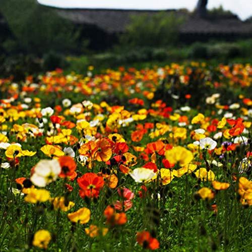 Granos de fleurs100Pcs/ Sac Corn Poppies Seeds Perennial Beautiful Mixed Colors Ornamental Flower Seeds Semillas para Exteriores - Semillas de Amapola de Maíz