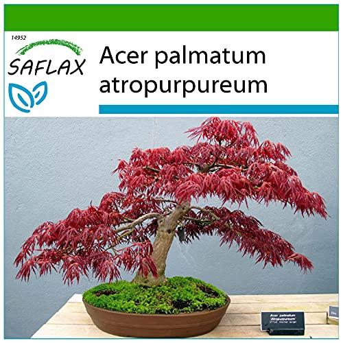 SAFLAX - Arce japonés - 20 semillas - Con sustrato estéril para cultivo - Acer palmatum