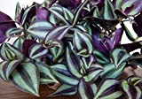 Purple Wandering Jew - Easy to Grow House Plant - Inch Plant - 4' Pot