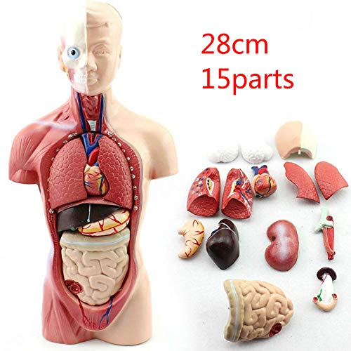 Zaoyun Menschliche Anatomie,anatomisches Modell Ausbildungshilfe Pädagogische Lernwerkzeug (Körper)