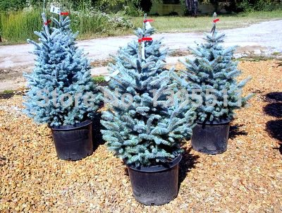 20 piezas / bolsa de cielo azul Abeto árbol bonsai semillas Picea pungens