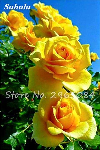 Big Promotion! 24 couleurs des plantes en pot Rose Graines Graines de fleurs vivaces intérieur Bonsai planter des fleurs Semences-200 Pcs 9