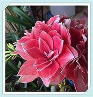 5个ヒッペストラム球根 - 家の園芸装飾、お祭りの花、珍しい園芸鉢植え、球根周囲14-16cm