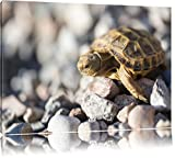 Kleine Schildkröte Format: 60x40 auf Leinwand, XXL riesige
