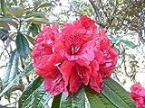 Rododendro RODODENDRO Arboreum semi!