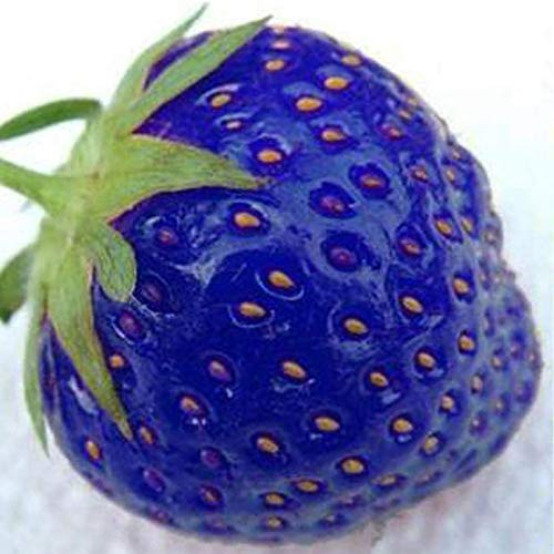 TOYHEART 200 Piezas De Semillas De Frutas De Primera Calidad, Semillas De Fresa, Nutritiva Y Prolífica Planta Azul, Semillas De Frutas Naturales Para Patio Azul