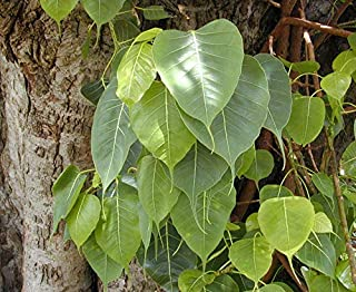 HOT!! - 30 FICUS Tree Bodhi Sacred Fig Ficus Religiosa Seeds