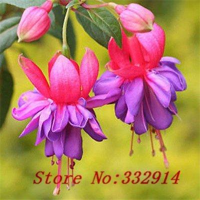 Vente! 100 graines chinoises Graines de fleurs des plantes lanterne, très doux et mignon, ..