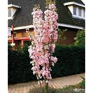 Japanese Amanogawa Pink Flowering Cherry 4ft.Upright Growing.Prunus Serrulata 3fatpigs®