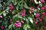 20 semi germinati eugenia myrtifolia - Syzygium paniculatum spazzola di ciliegia Vendiamo semi non solo la pianta. Il prezzo include funzioni customes Seeds è il pacchetto completo. Trasporto che a livello internazionale