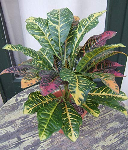 Licht & Grün exclusive Kunstpflanzen Künstlicher Croton