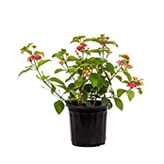 Lantana plants are evergreens of the broadleaf variety, known for their rounded clusters of small, brightly-colored flowers. This is an excellent plant to attract butterflies to your garden or deck. Its ability to stand heat and salt make it a good c...